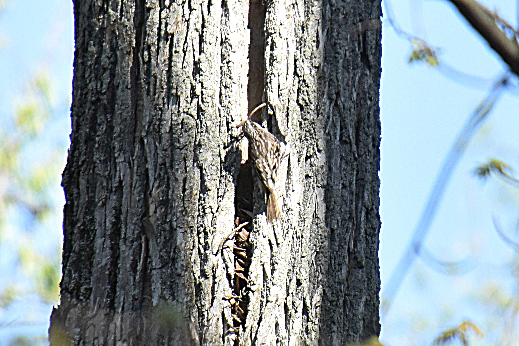 Brown creeper nest building. Photo by Don Henise, FCC