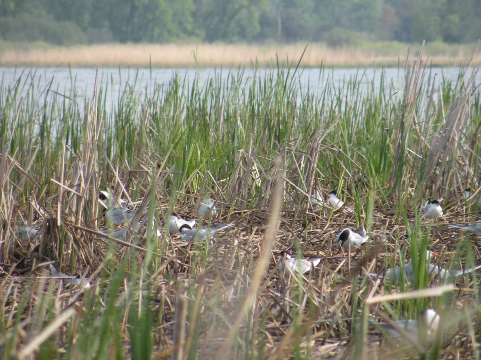 Numerous Forster's terns mingle in native vegetation in a wetland. Photo by Daryl Christensen