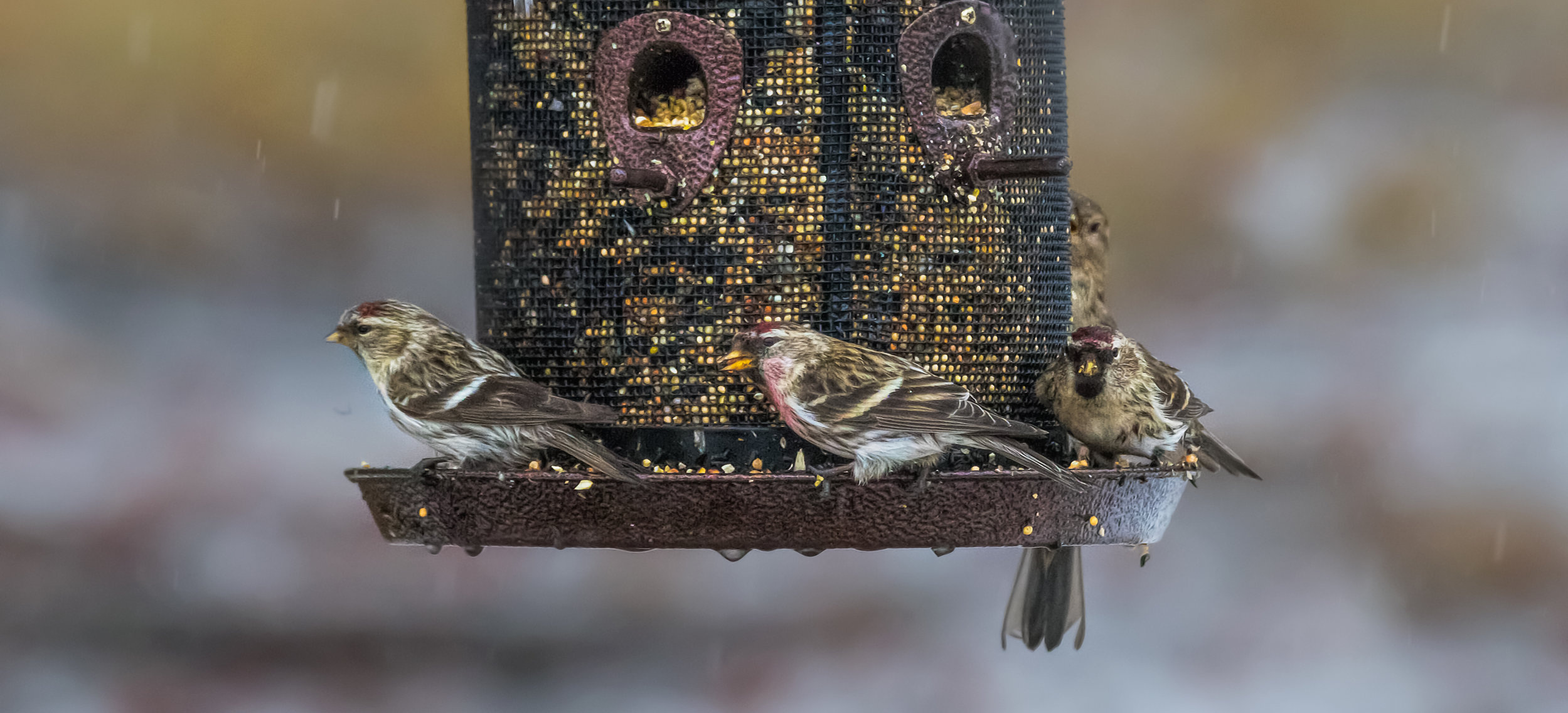A bird feeder can be a wonderful scene of activity and color! Photo by Monica Hall