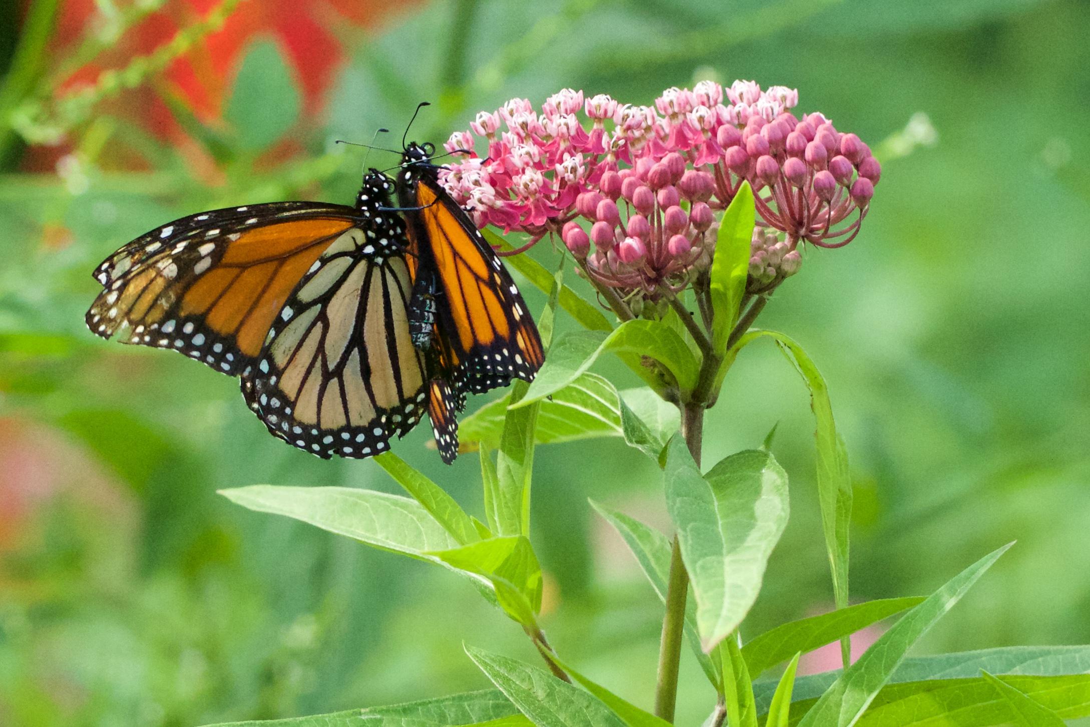 Monarchs on swamp milkweed. Photo by Arlene Koziol.  Download