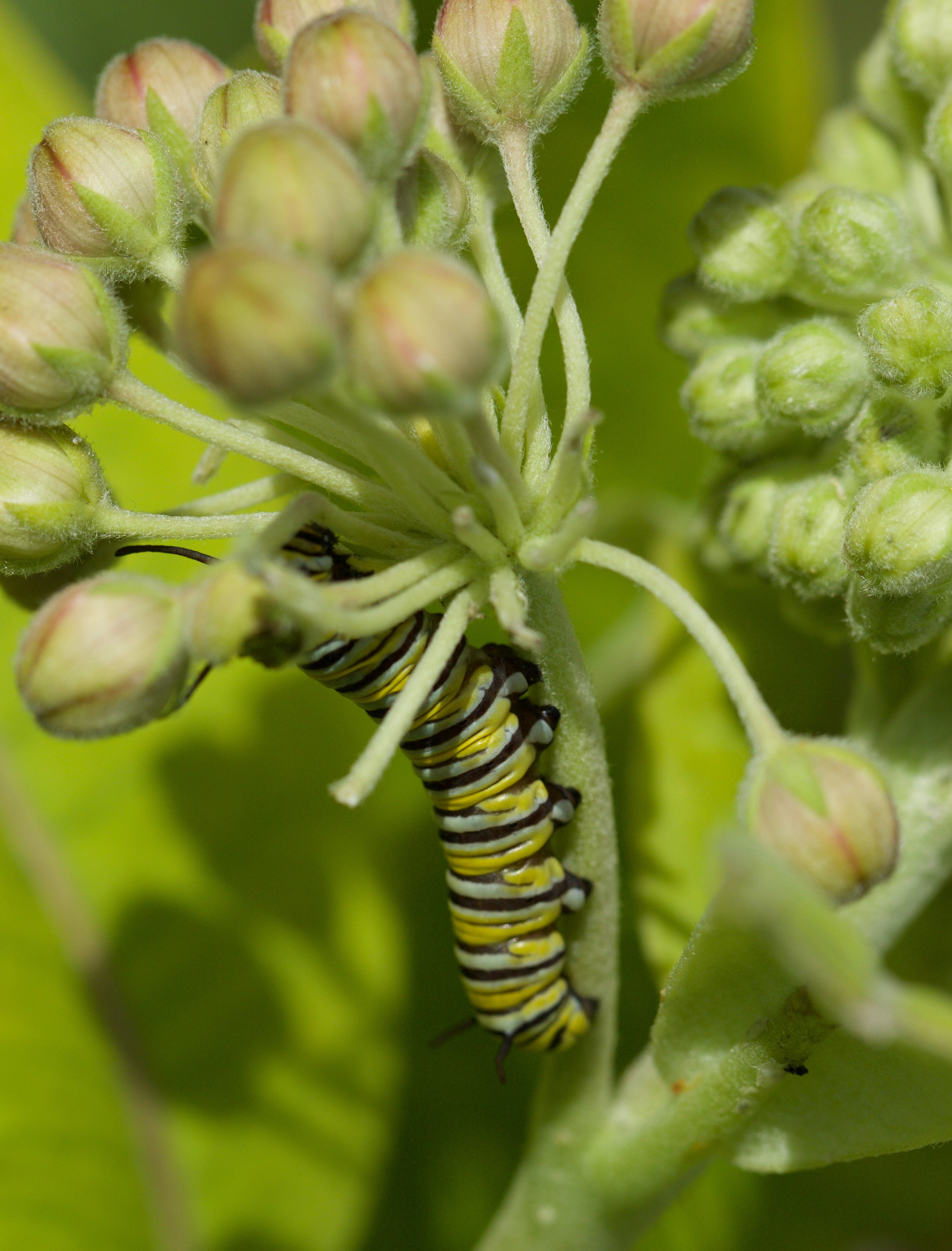 Monarch caterpillar on common milkweed. Photo by Arlene Koziol.  Download