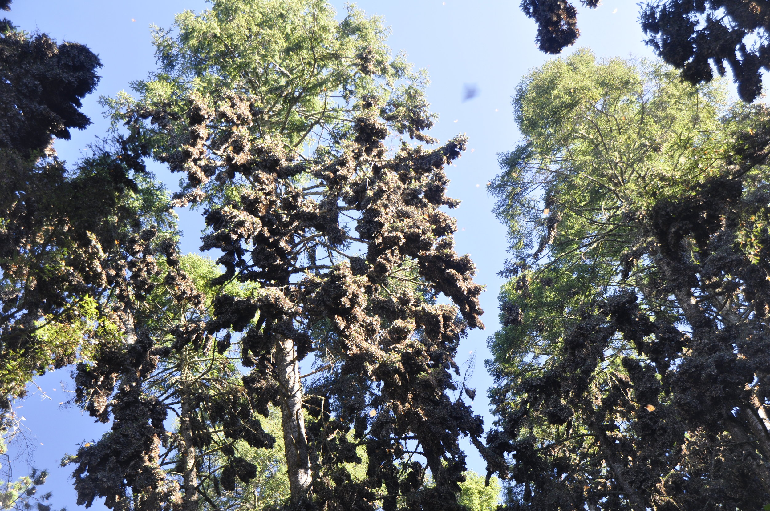 Monarchs in Rosario Sanctuary, Mexico. Photo by Brenna Wiesner.  D  ownload