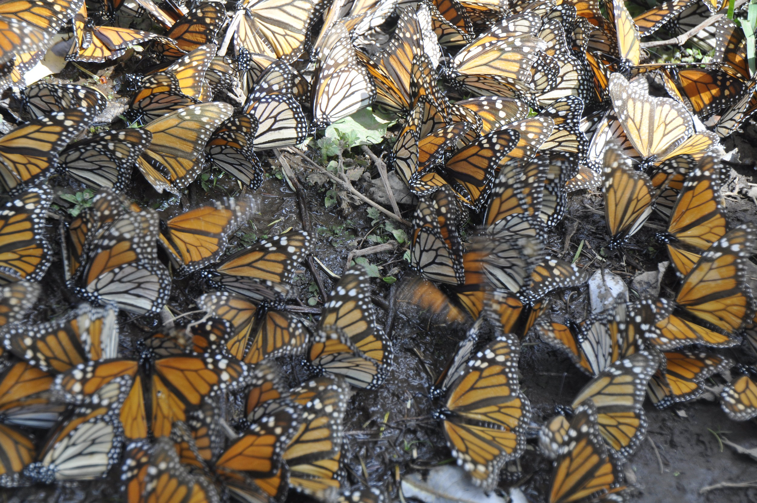 Monarchs in Rosario Sanctuary, Mexico. Photo by Brenna Wiesner.  Download