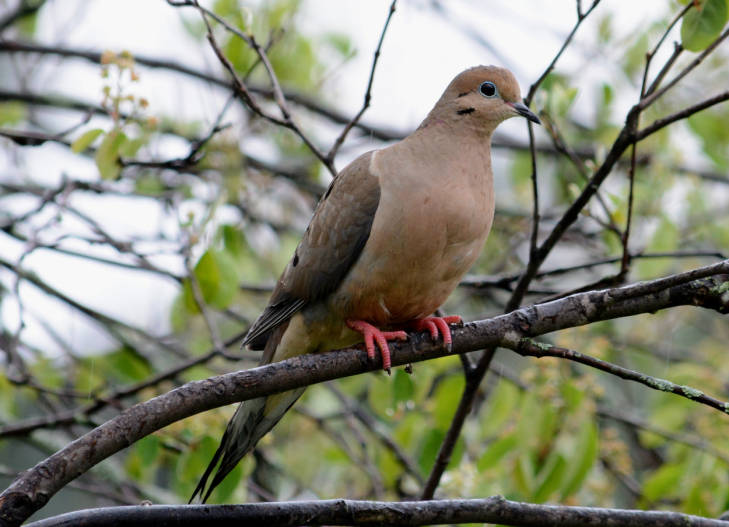 Mourning dove by USFWS National Digital Library