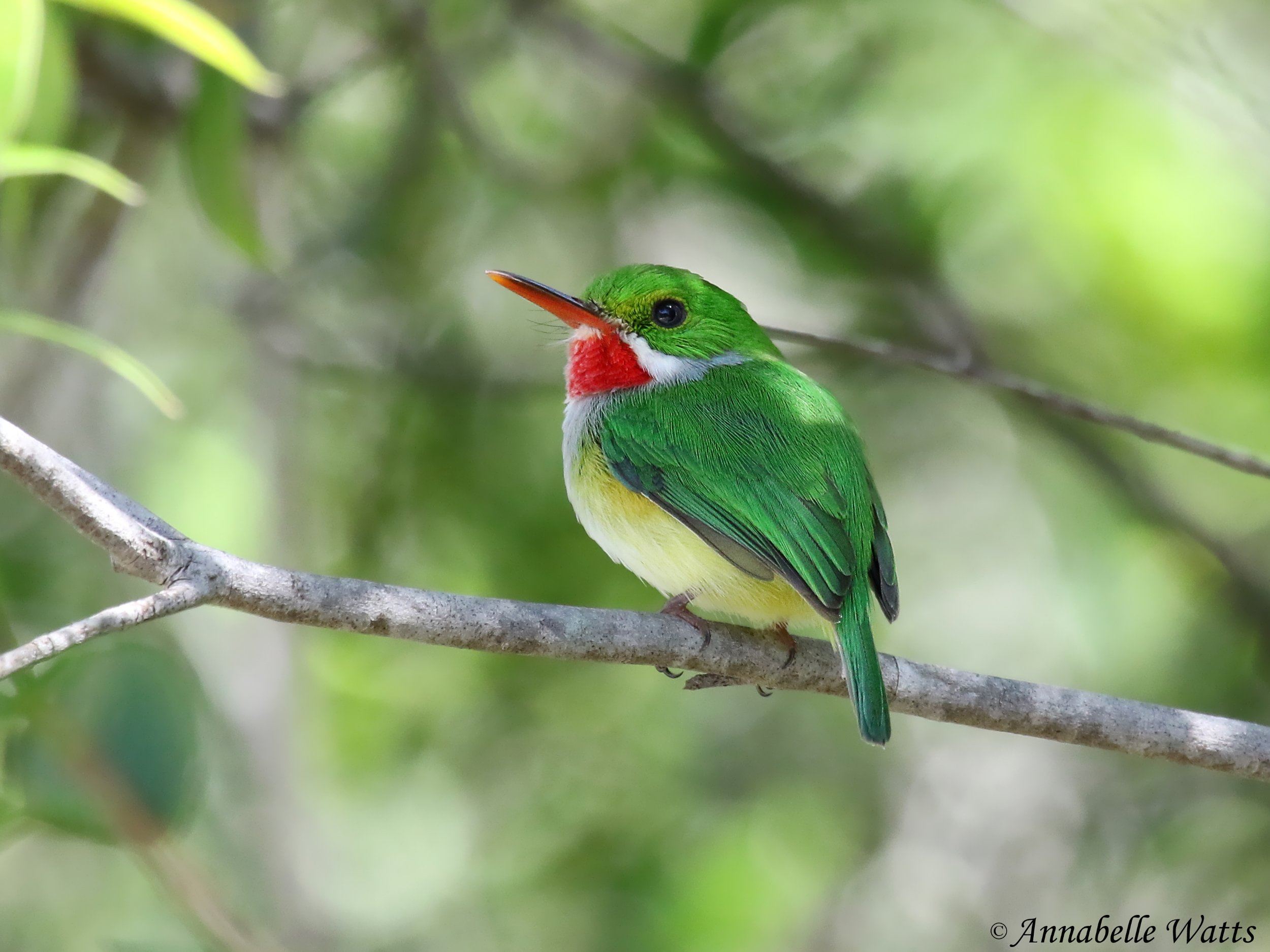Puerto Rican Tody by Annabelle Watts