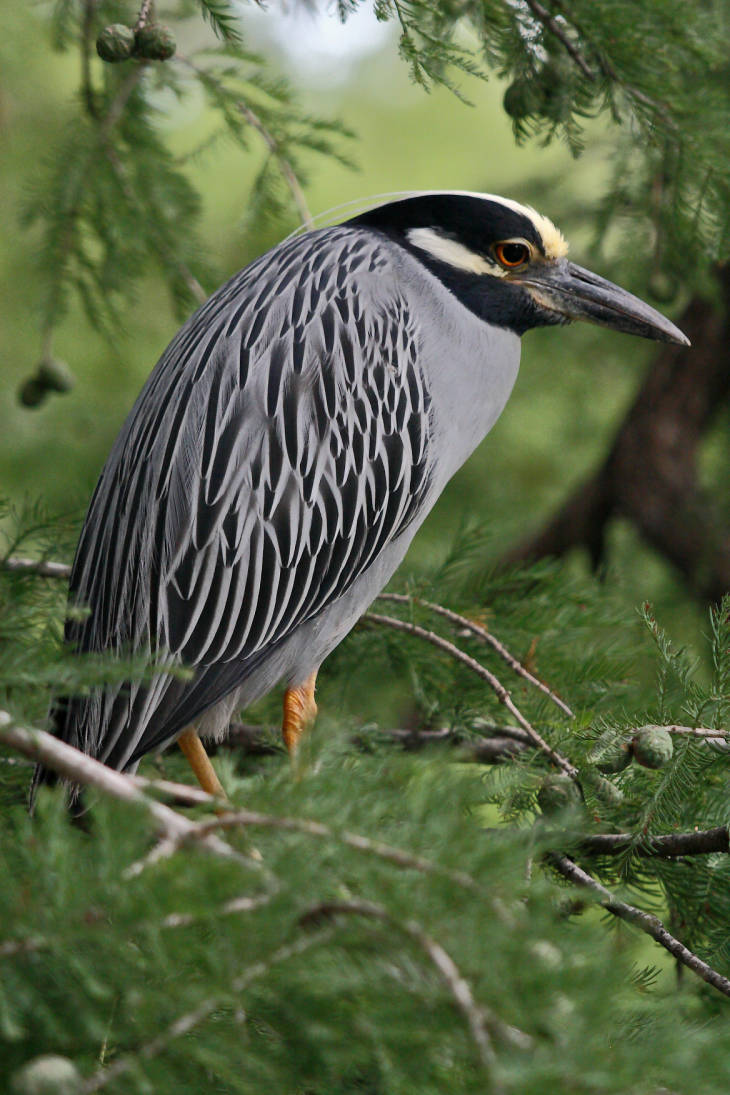 Yellow-crowned night heron by USFWS National Digital Library
