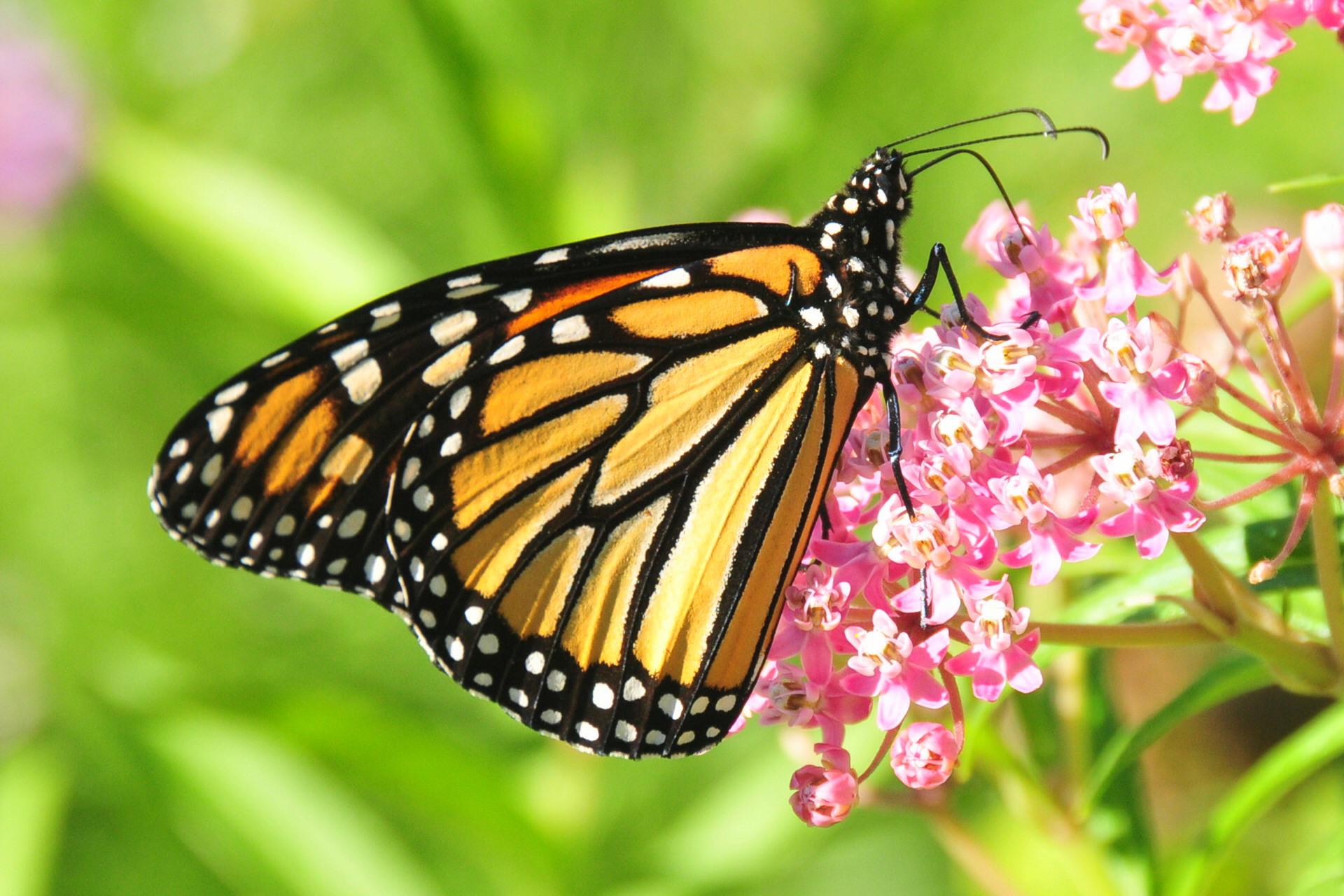 Monarch feeding on swamp milkweed. Photo by Tom Koerner/USFWS.  Download .