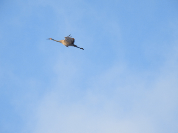 Sandhill crane in flight, by Drew Harry