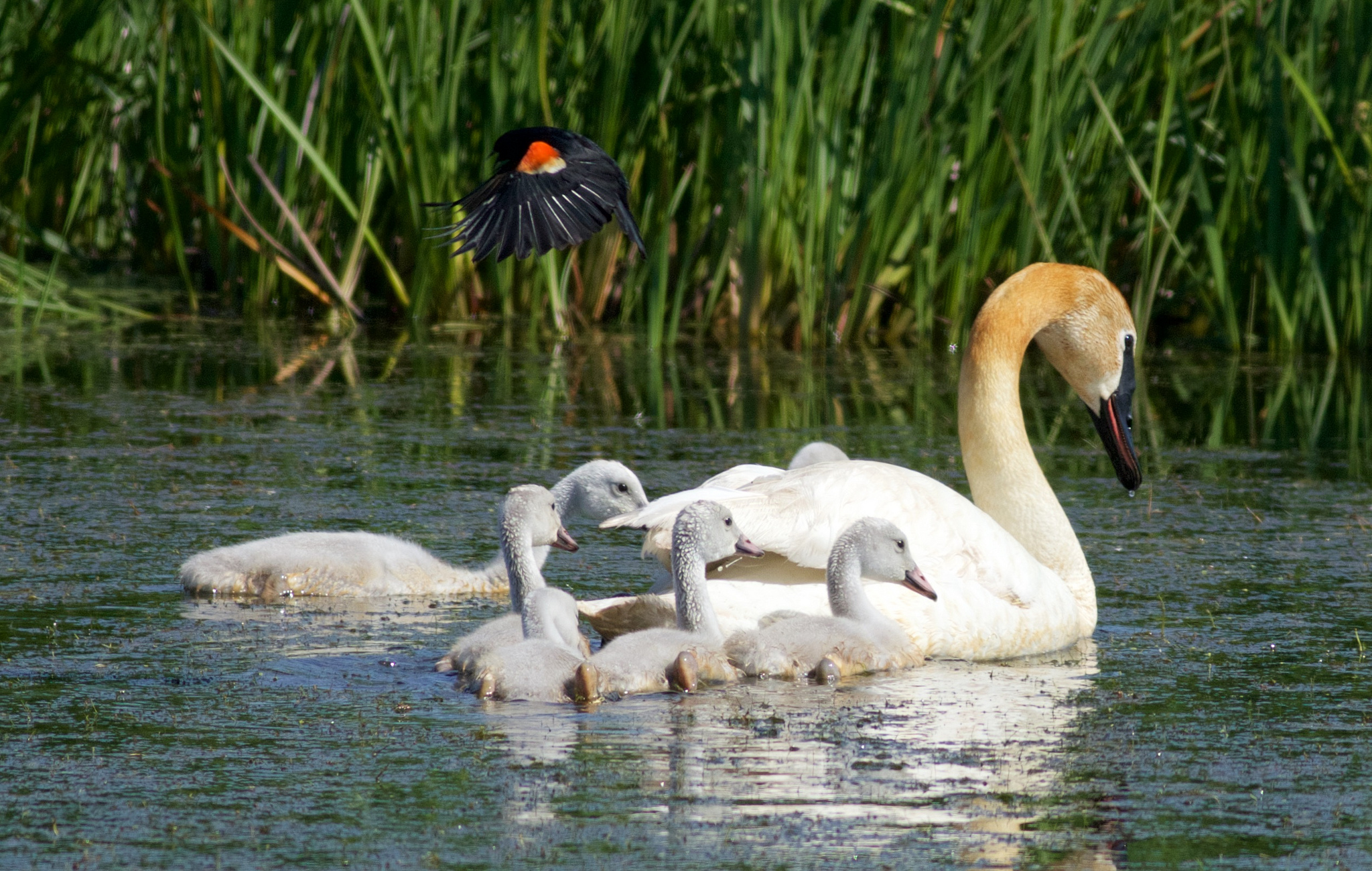 A red-winged blackbird mobs a swan family to protect a nearby nest. Photo by Alrene Koziol