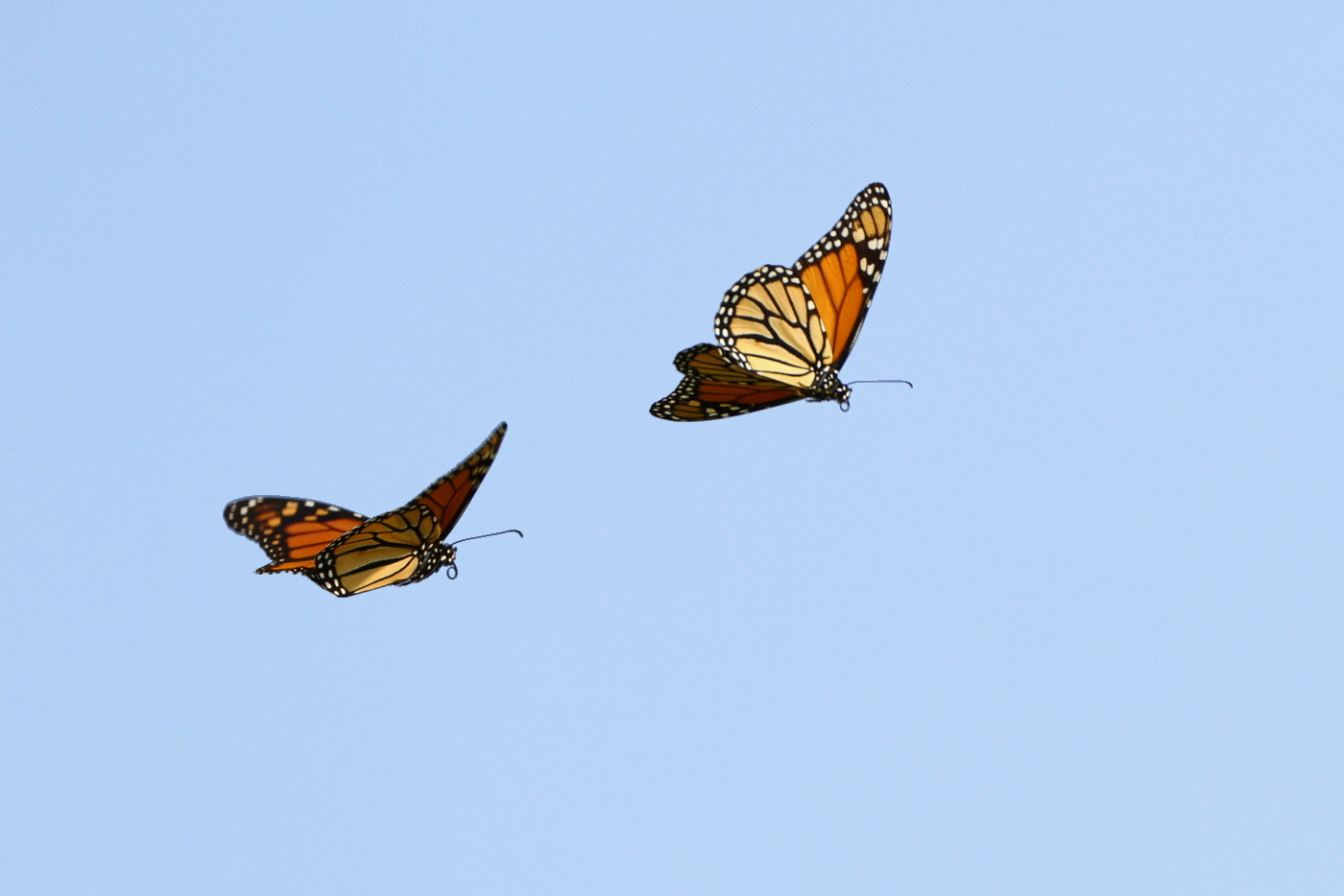 Adult monarchs in flight. Photo by  TexasEagle .  Download .