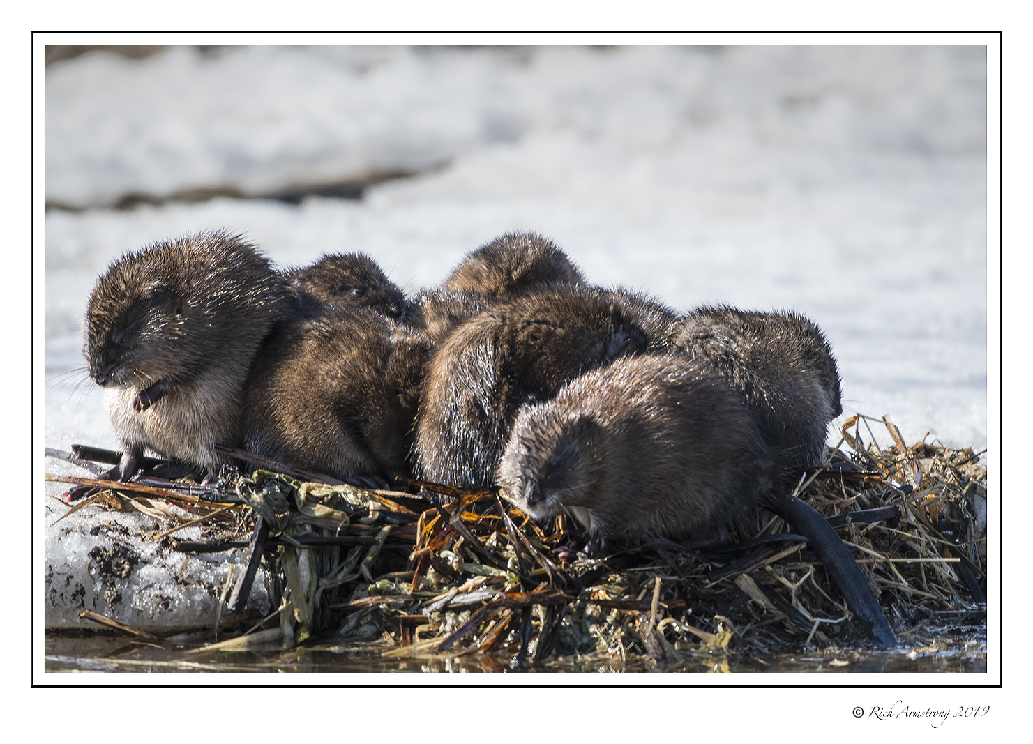 Muskrat family in the sun. Photo by Richard Armstrong