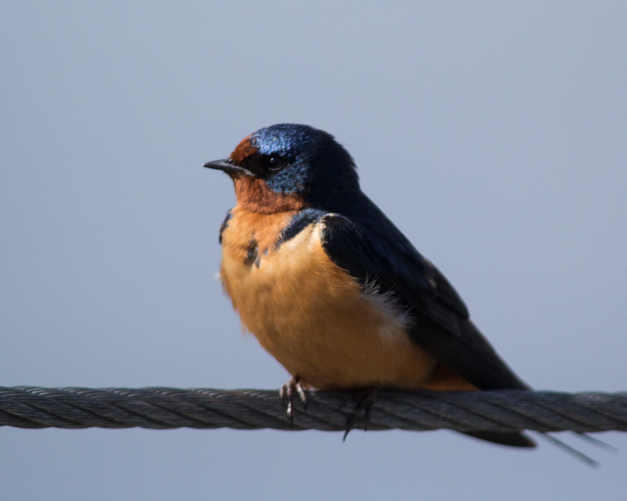 Barn swallow, photo by USFWS Midwest