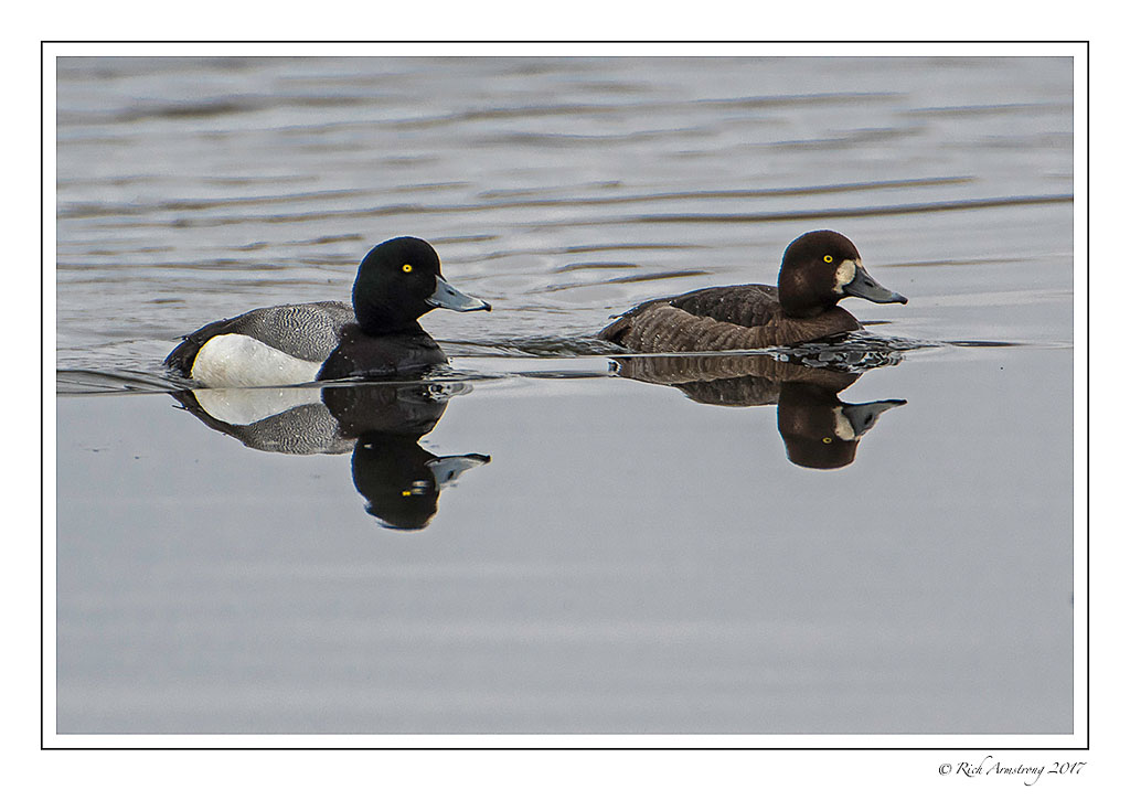 Lesser scaup pair, photo by Richard Armstrong