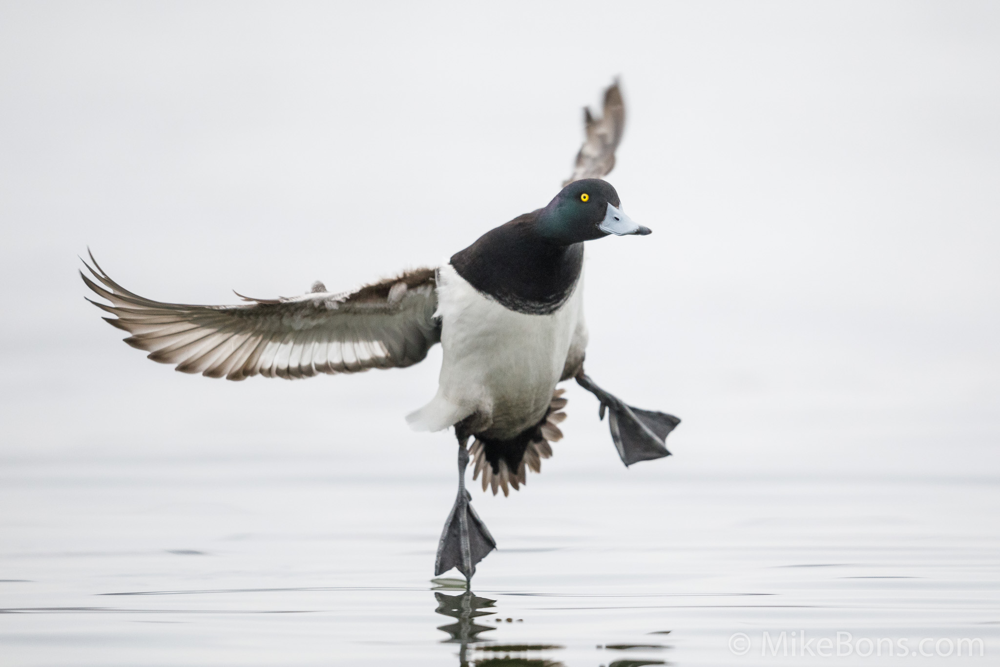 Lesser scaup, photo by    Mike Bons