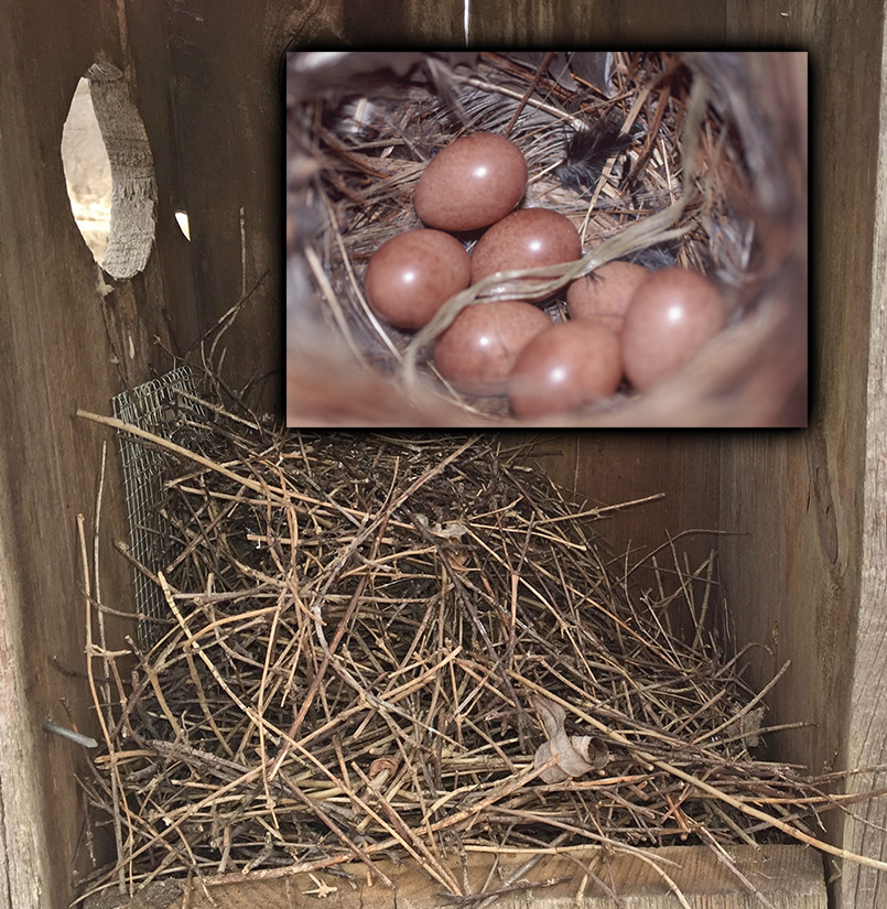 House Wren . Nest is made of sticks & twigs. Wrens will fill entire box with sticks. Native.  Do not remove.