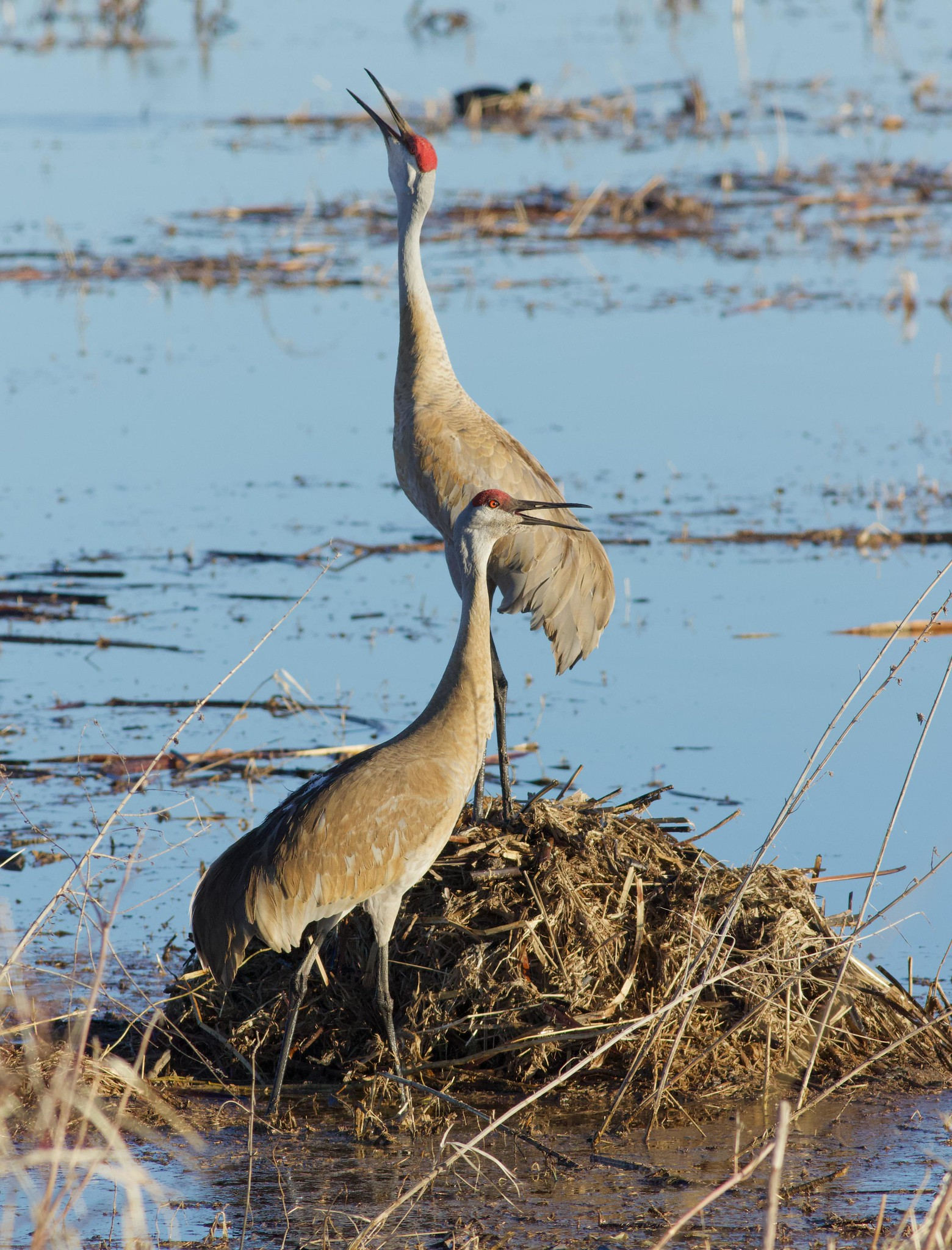 Sandhill crane pair in calling in unison at Goose Pond. Photo by Arlene Koziol