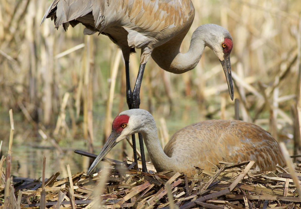 Sandhill cranes on the nest. Photo by Arlene Koziol