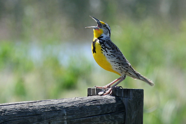 """An eastern meadowlark sings """"spring-of-the-year!"""" Photo by Pat Ready"""