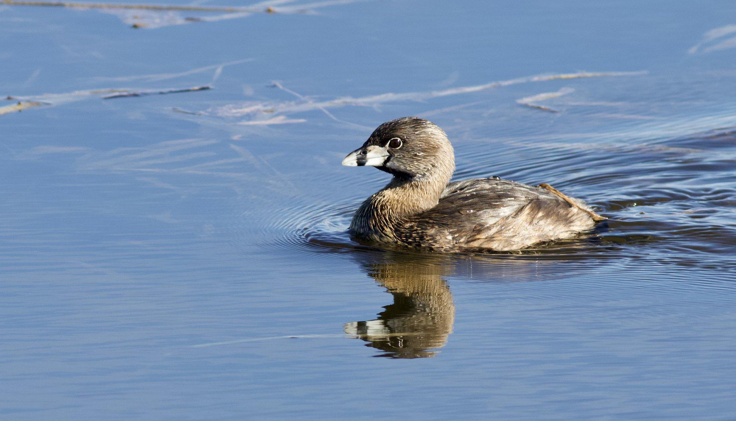 A pied-billed grebe paddles through Goose Pond. Photo by Arlene Koziol