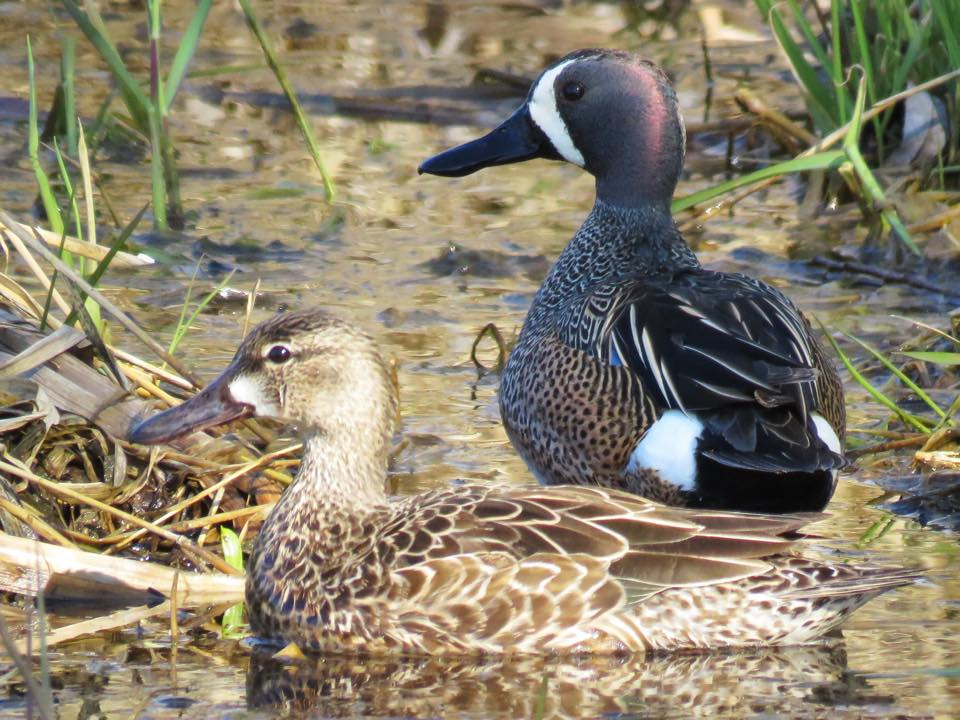 Blue-winged teal pair, photo by USFWS Midwest Region