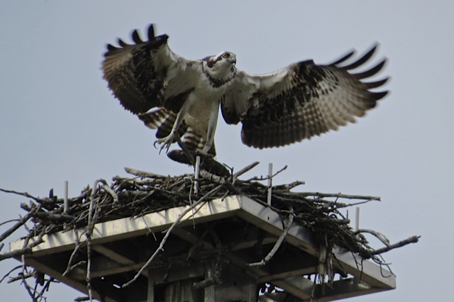 Osprey nest, photo by Pat Ready