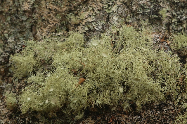 Old Man's Beard lichen, photo by Bob the Lomond