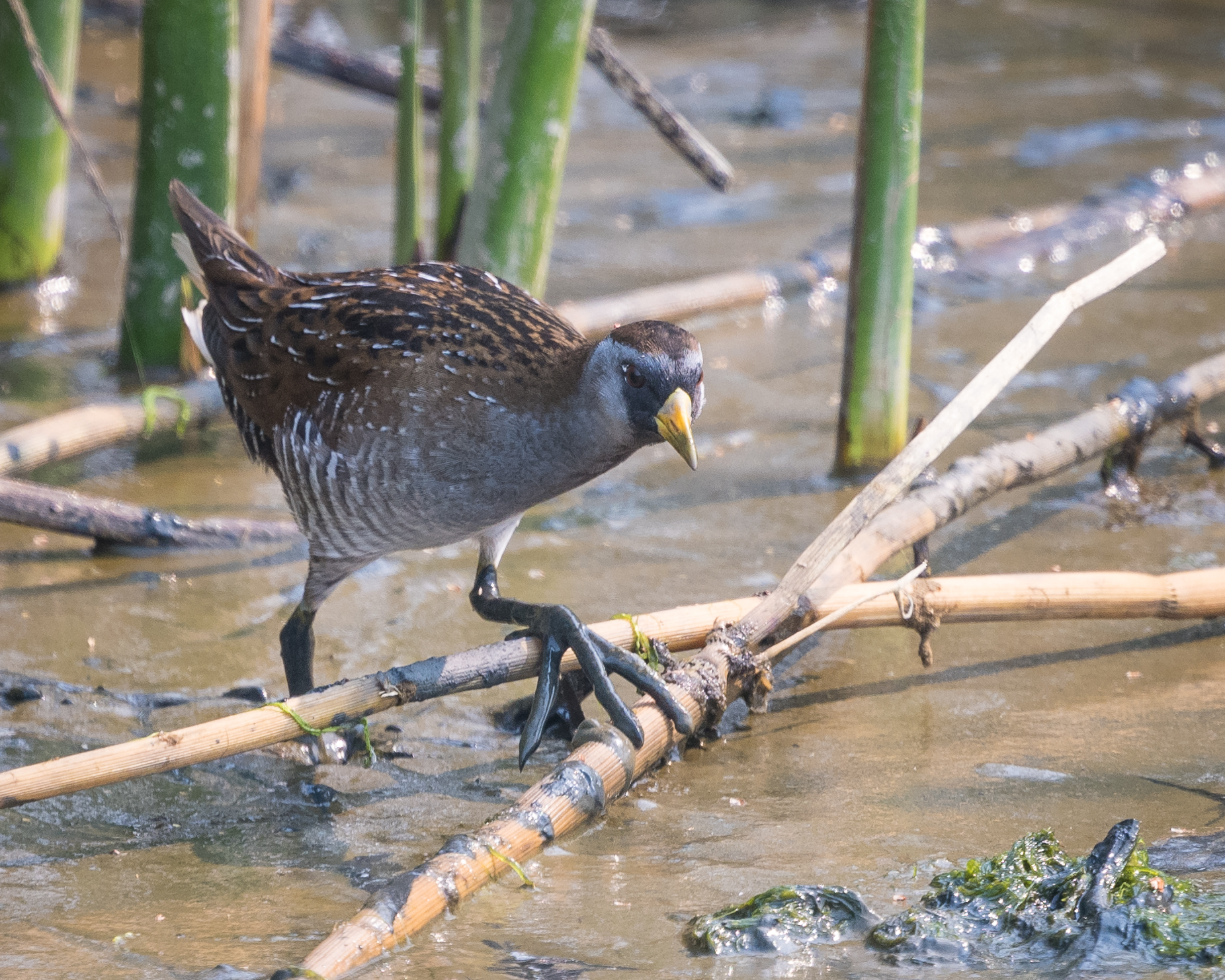 Sora rail (check out its giant feet!). Photo by Becky Matsubara