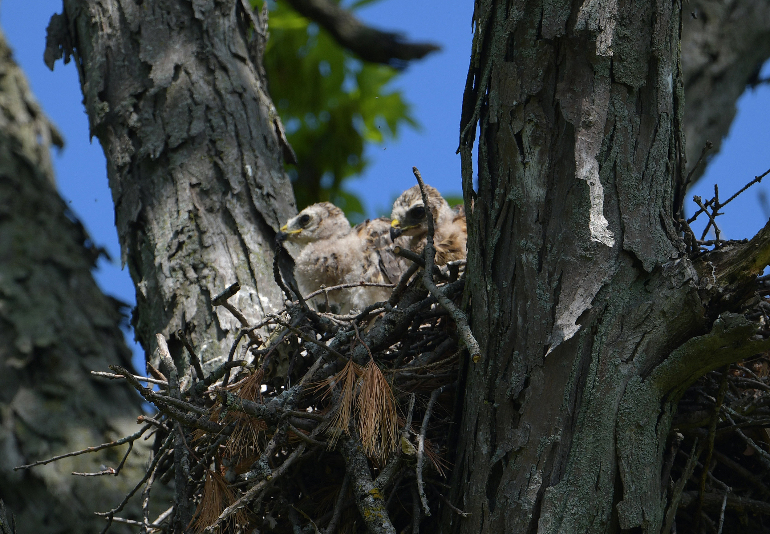 Red-shouldered hawk chicks in the nest. Photo by David Rihn