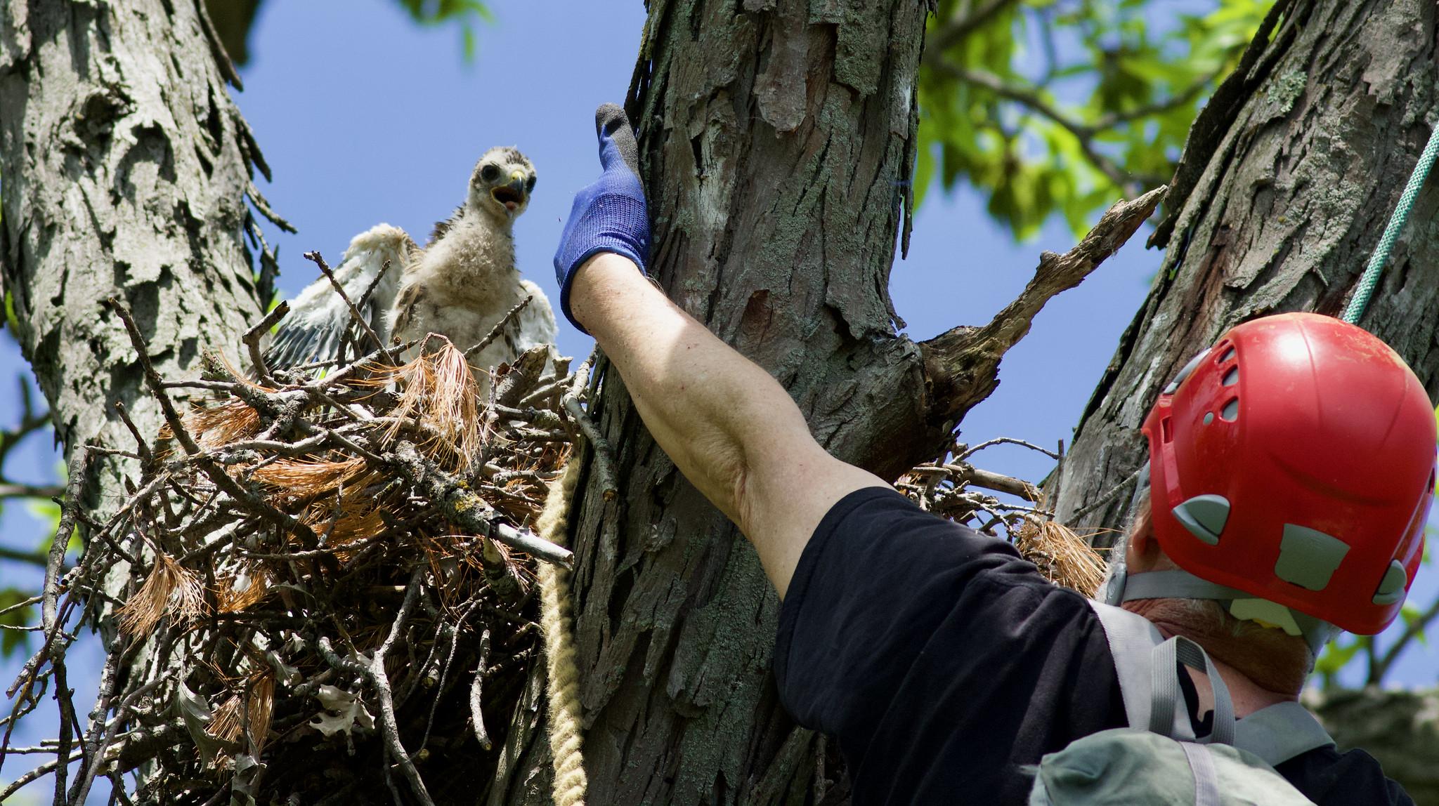 John approaching the nest. Photo by Arlene Koziol
