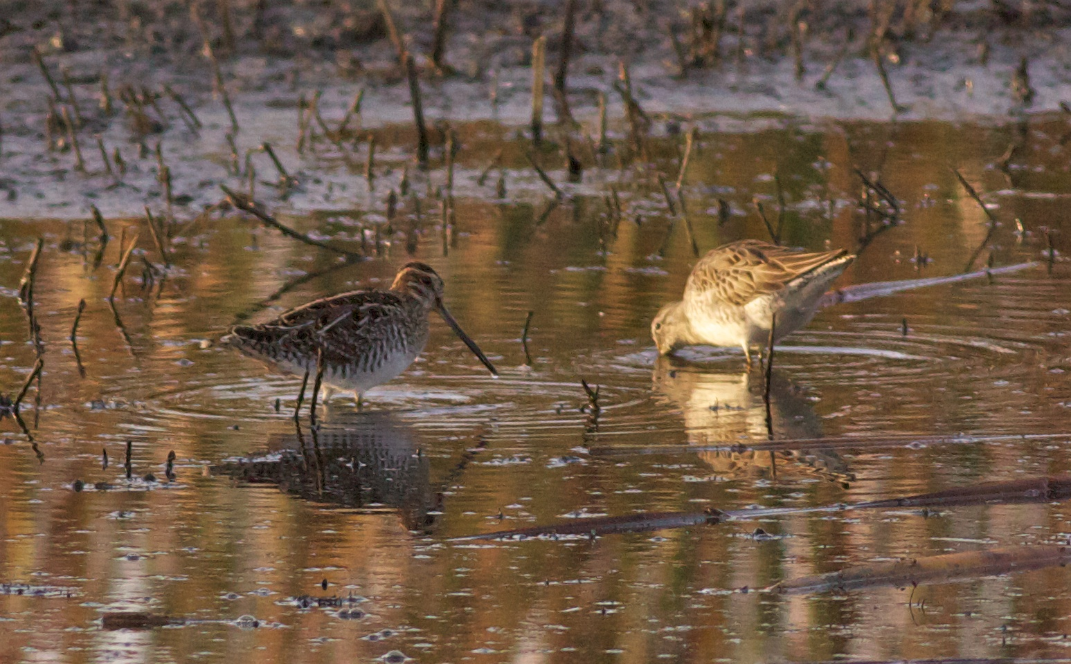 Two Wilson's snipes stand in shallow wetlands, one with just its long beak underwater rooting for bugs. Photo by Arlene Koziol