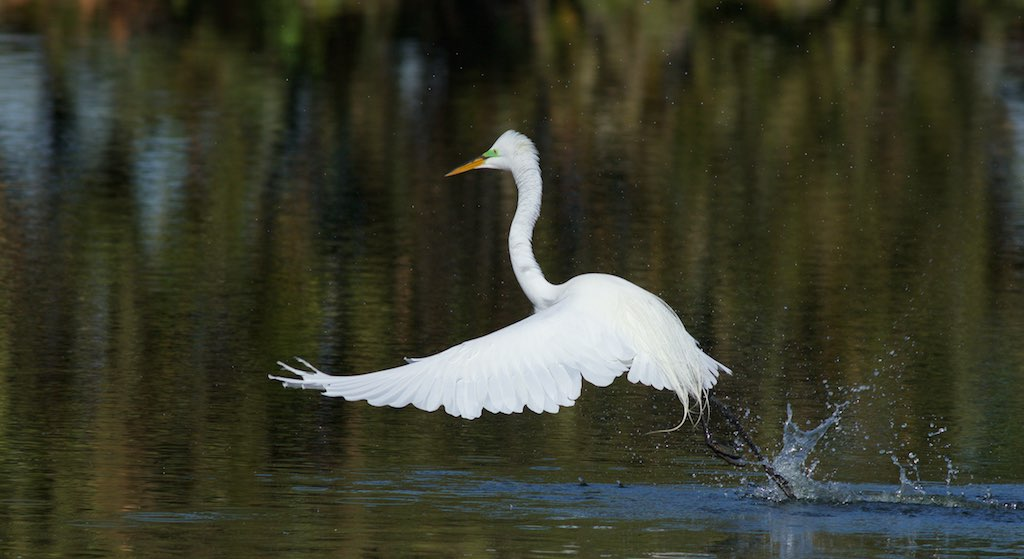 Great egret on the water, photo by Arlene Koziol