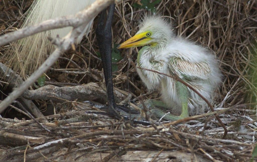 Great egret nestling, photo by Arlene Koziol