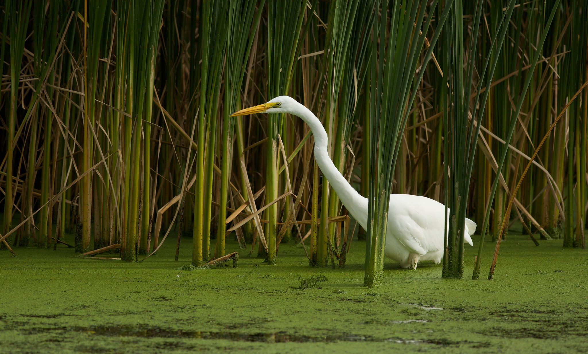 Great egret in the cattails, photo by Arlene Koziol