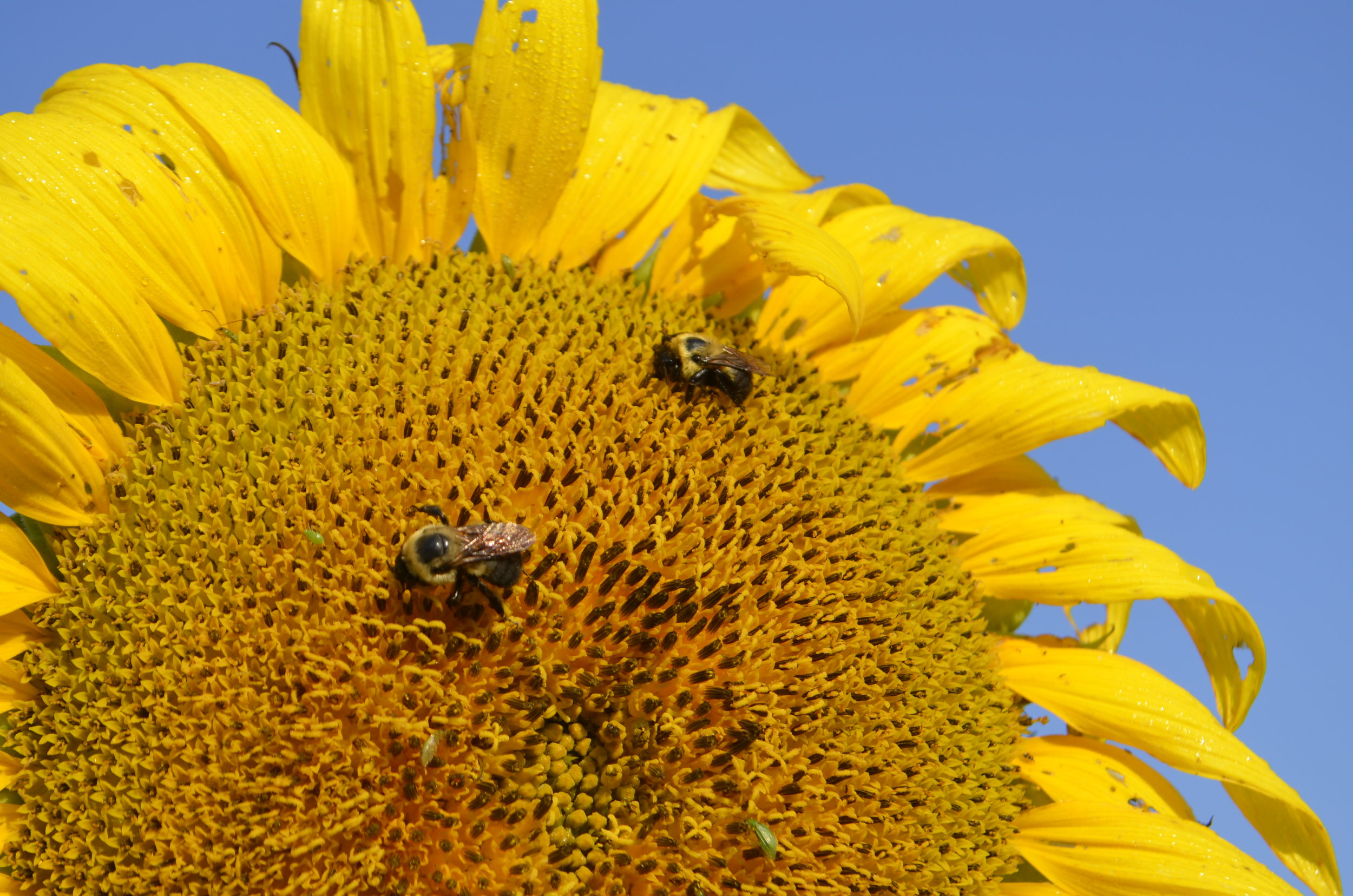 Sunflowers provide awesome fodder for pollinators. Photo by Mark Martin