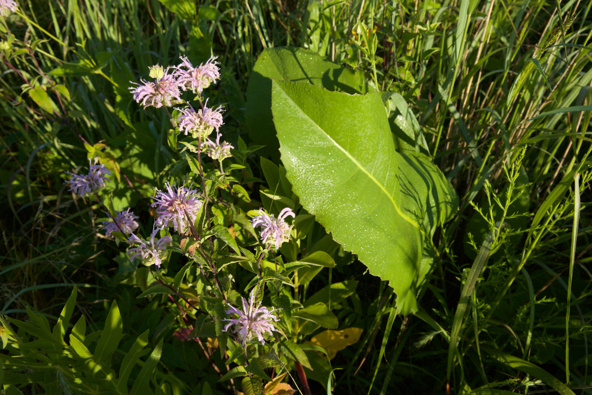 Bee balm are in full bloom at Goose Pond Sanctuary. Photo by Arlene Koziol
