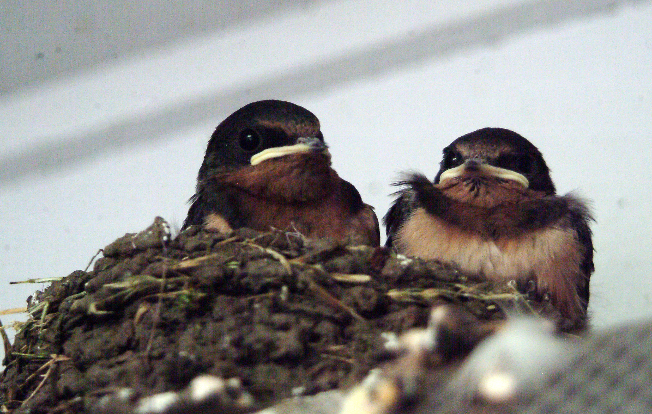 Barn swallow chicks, photo by Whitney H