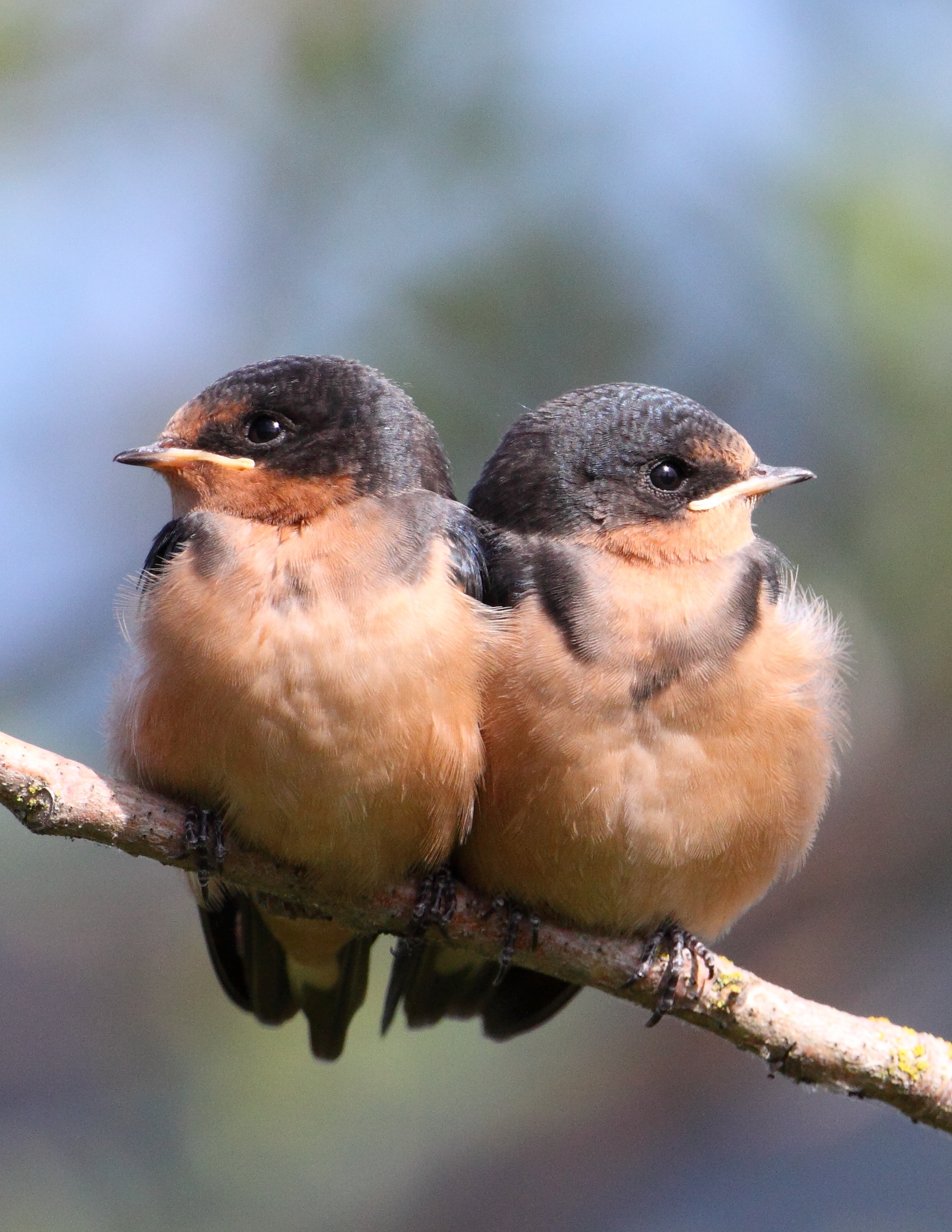 Barn swallow fledglings, photo by Mick Thompson