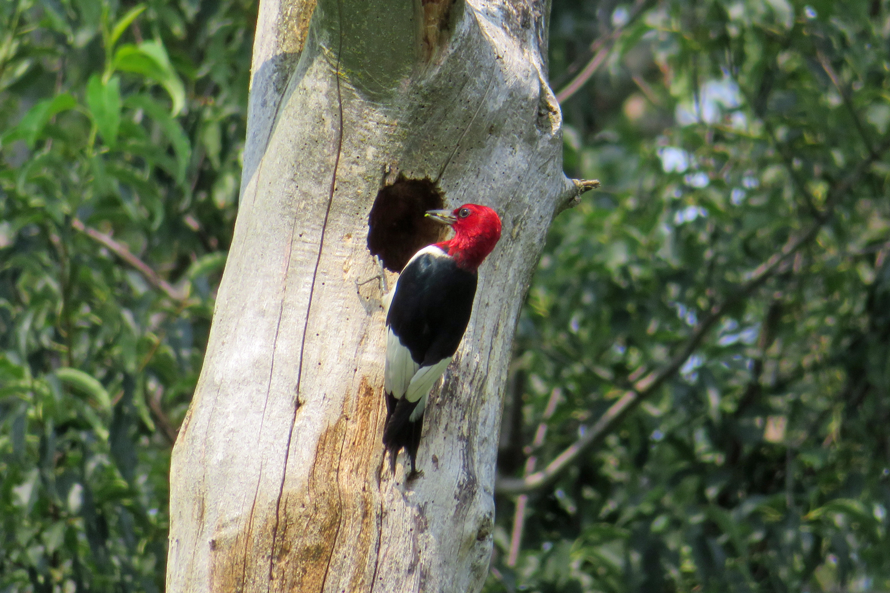 Red-headed woodpecker, confirmed after three tries! Photo by Mark Martin