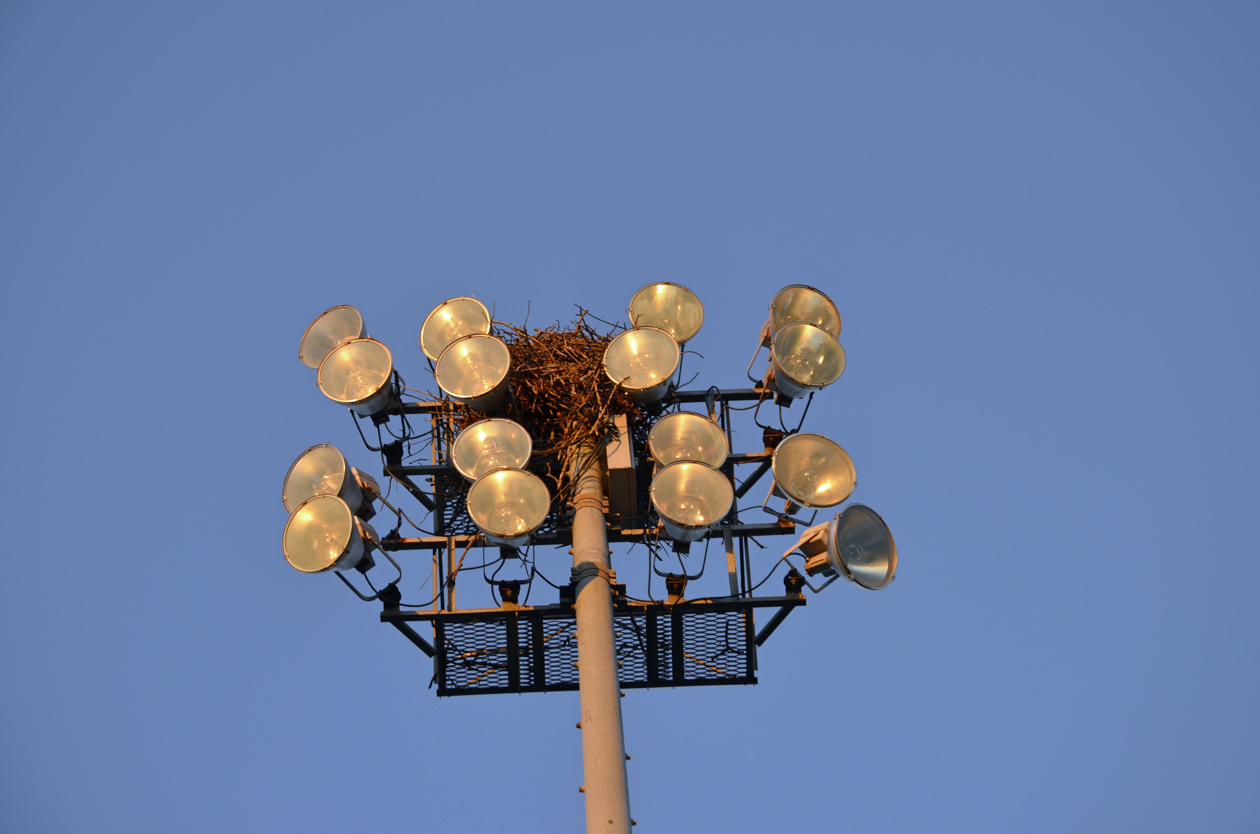 Osprey nesting on the lights at the Pardeeville High School athletic field. Photo by Mark Martin