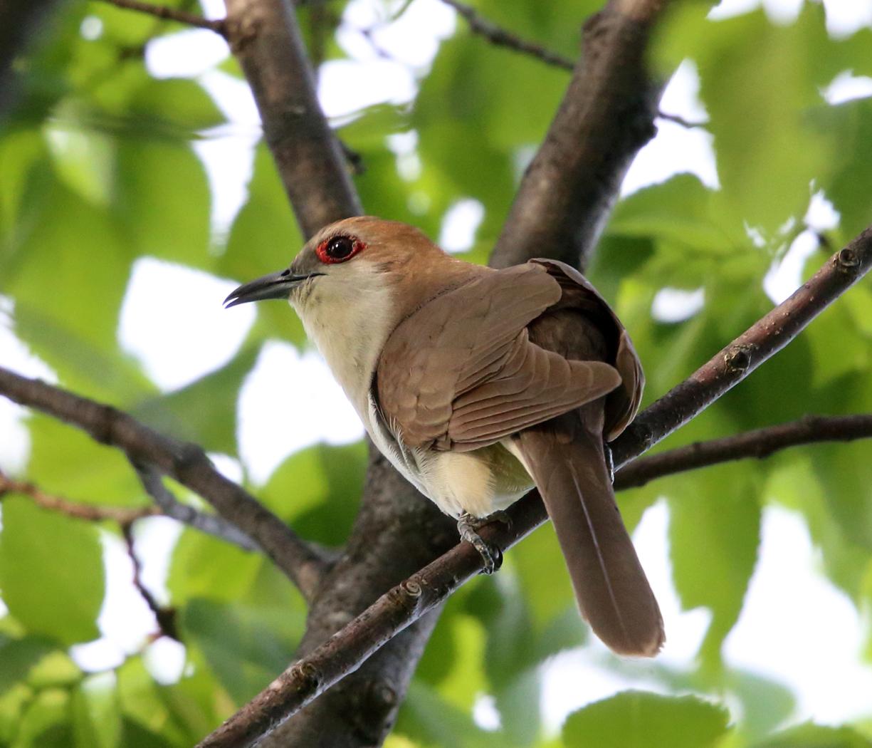 Black-billed cuckoo. Photo by Tom Murray