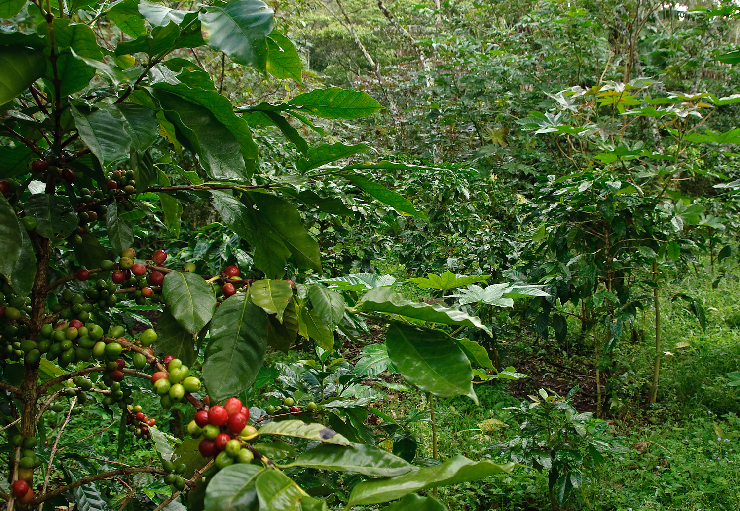 Shade-grown coffee plantation, photo by Marshal Hedin