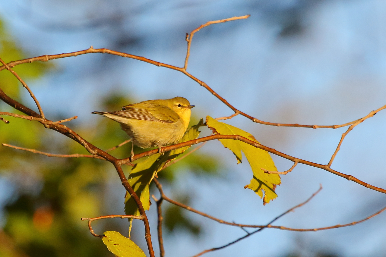 Tennessee warbler, photo by Jeff Bryant
