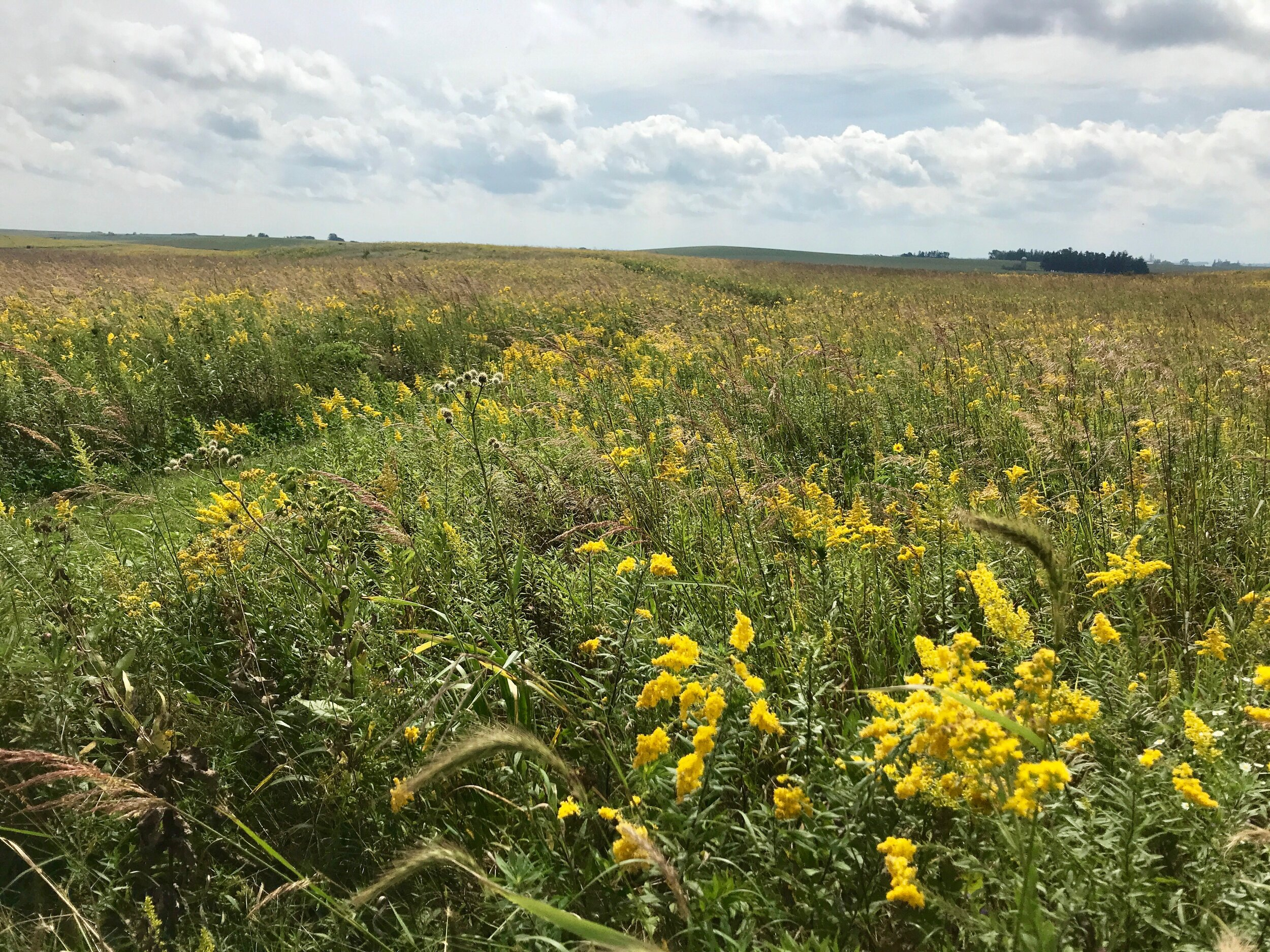 Goose Pond Sanctuary's Browne Prairie is a sea of yellow this fall, full of goldenrod which monarchs love to nectar on. Photo by Madison Audubon