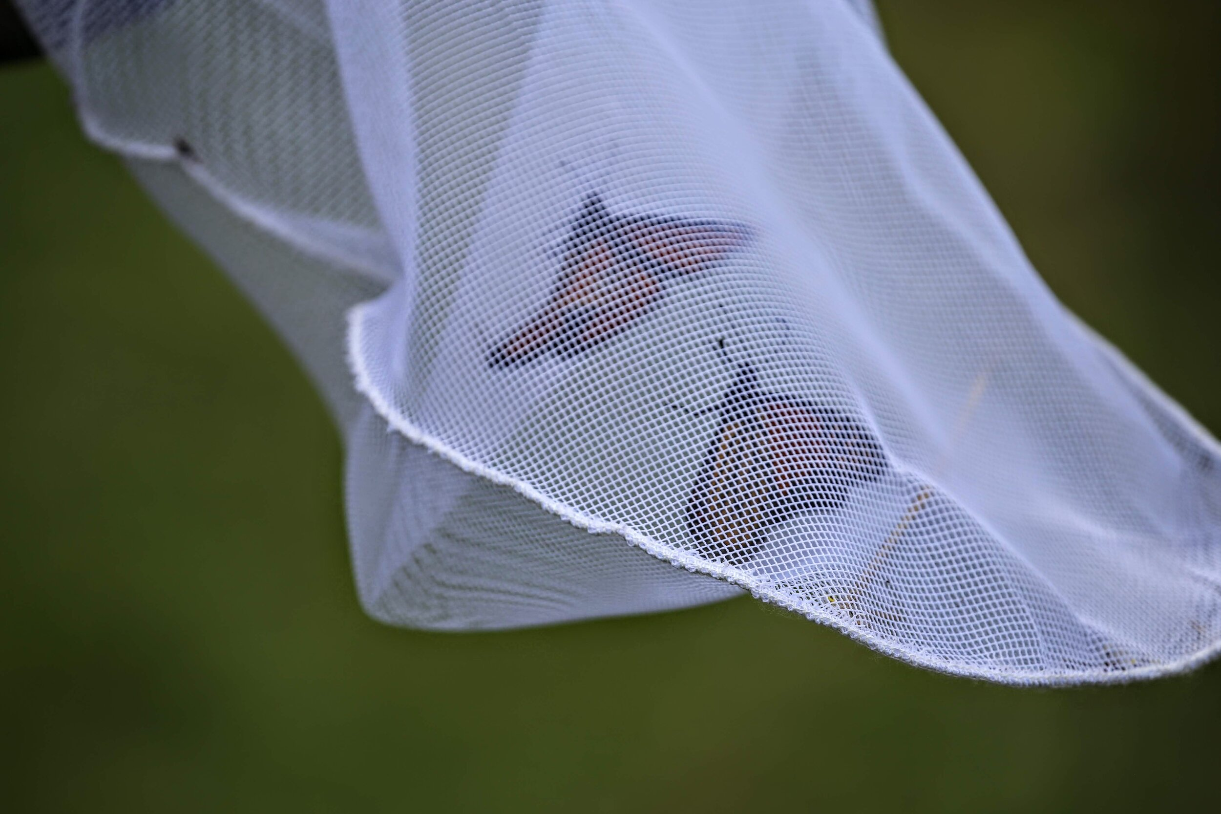 Monarchs in a net will be carefully extracted and tagged with a unique identifier sticker. Photo by Ruth Smith