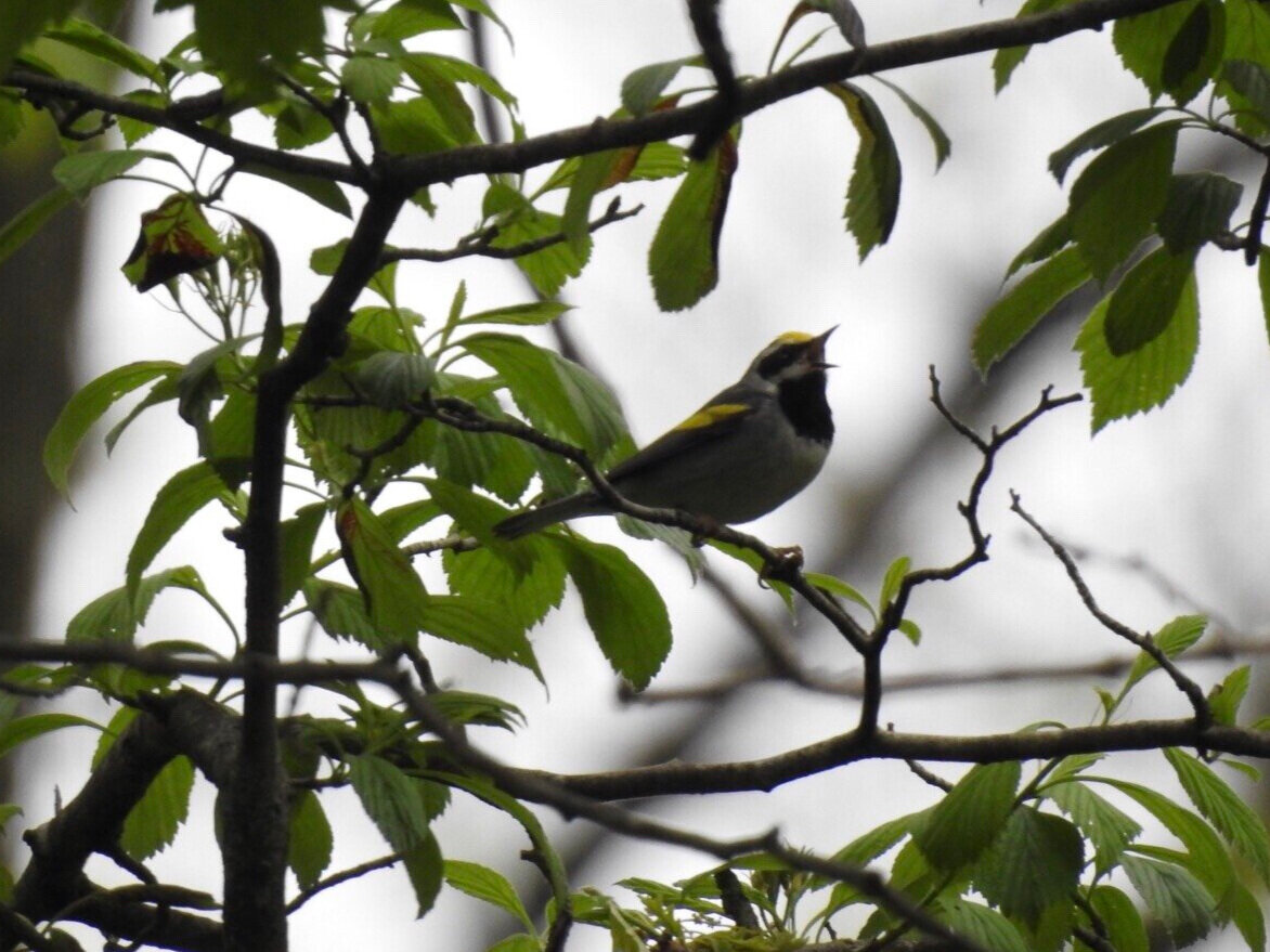 Golden-winged warbler sings in a tree. Photo by Drew Harry