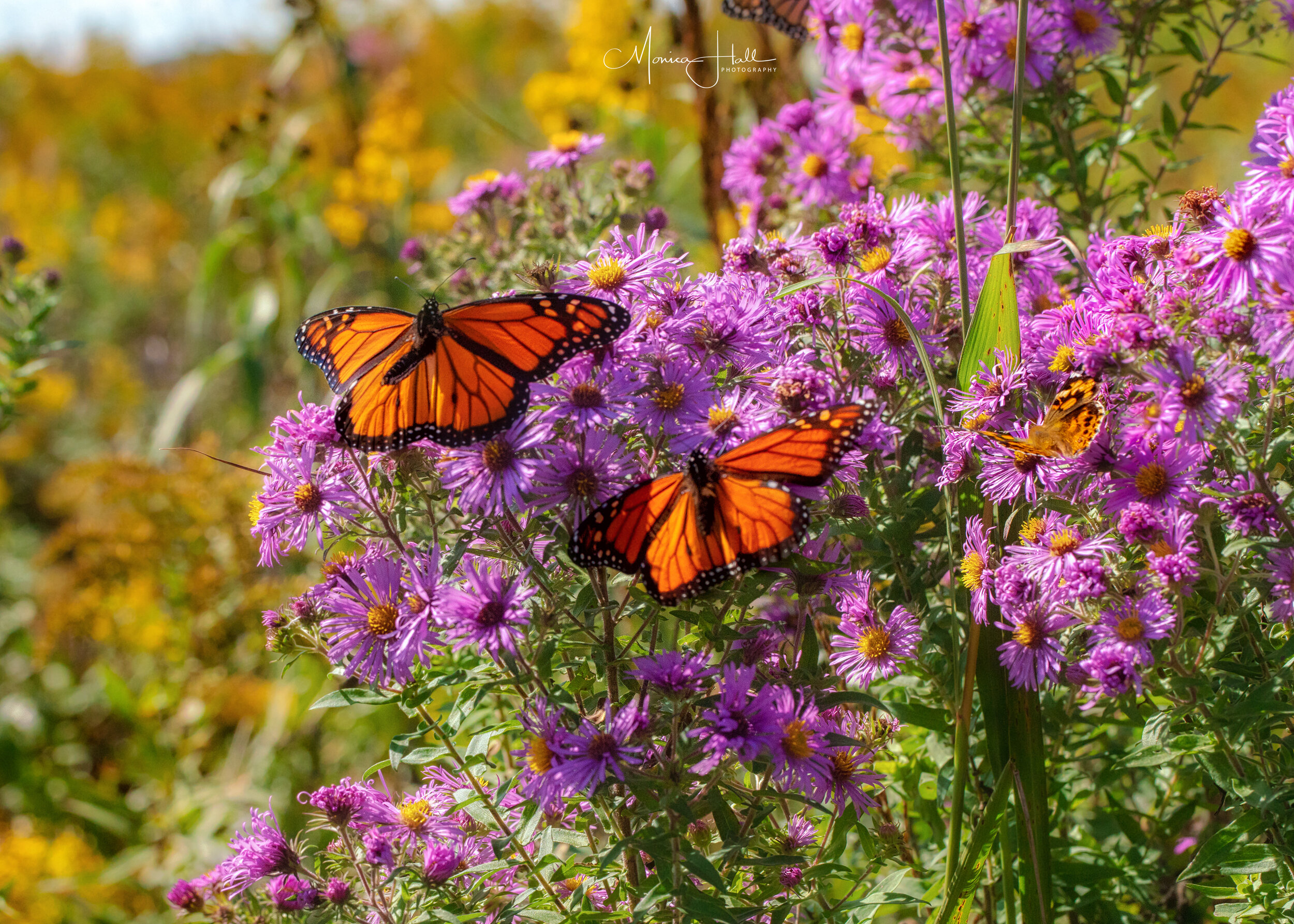 Monarchs on New England aster, photo by Monica Hall