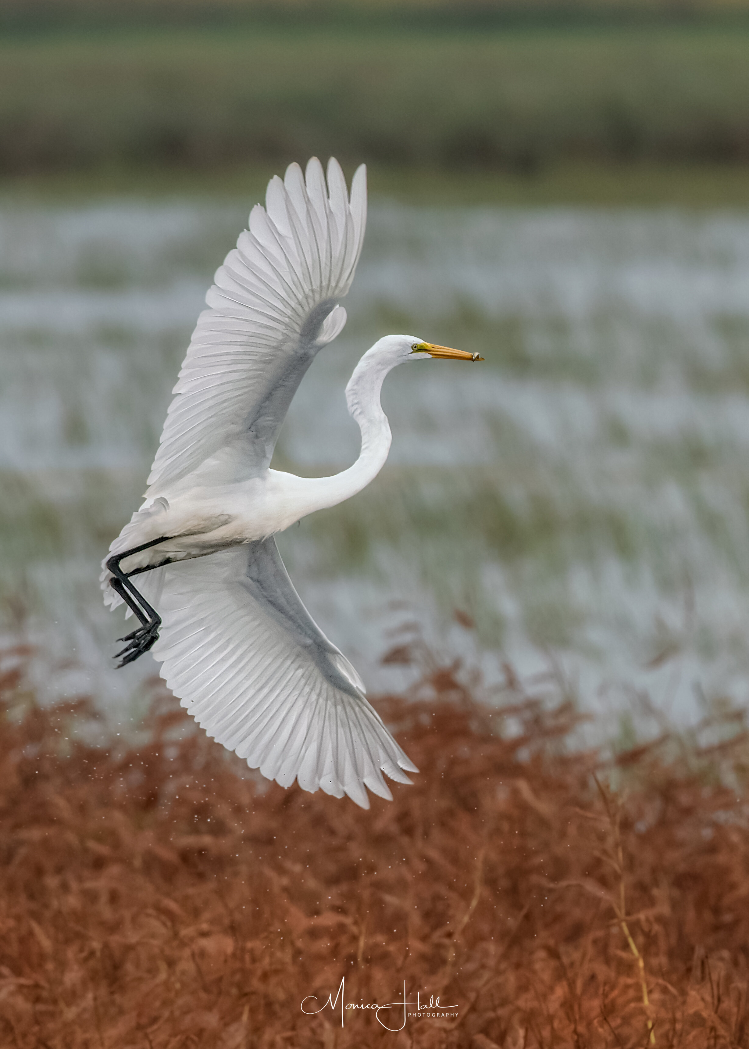 Great egret, photo by Monica Hall