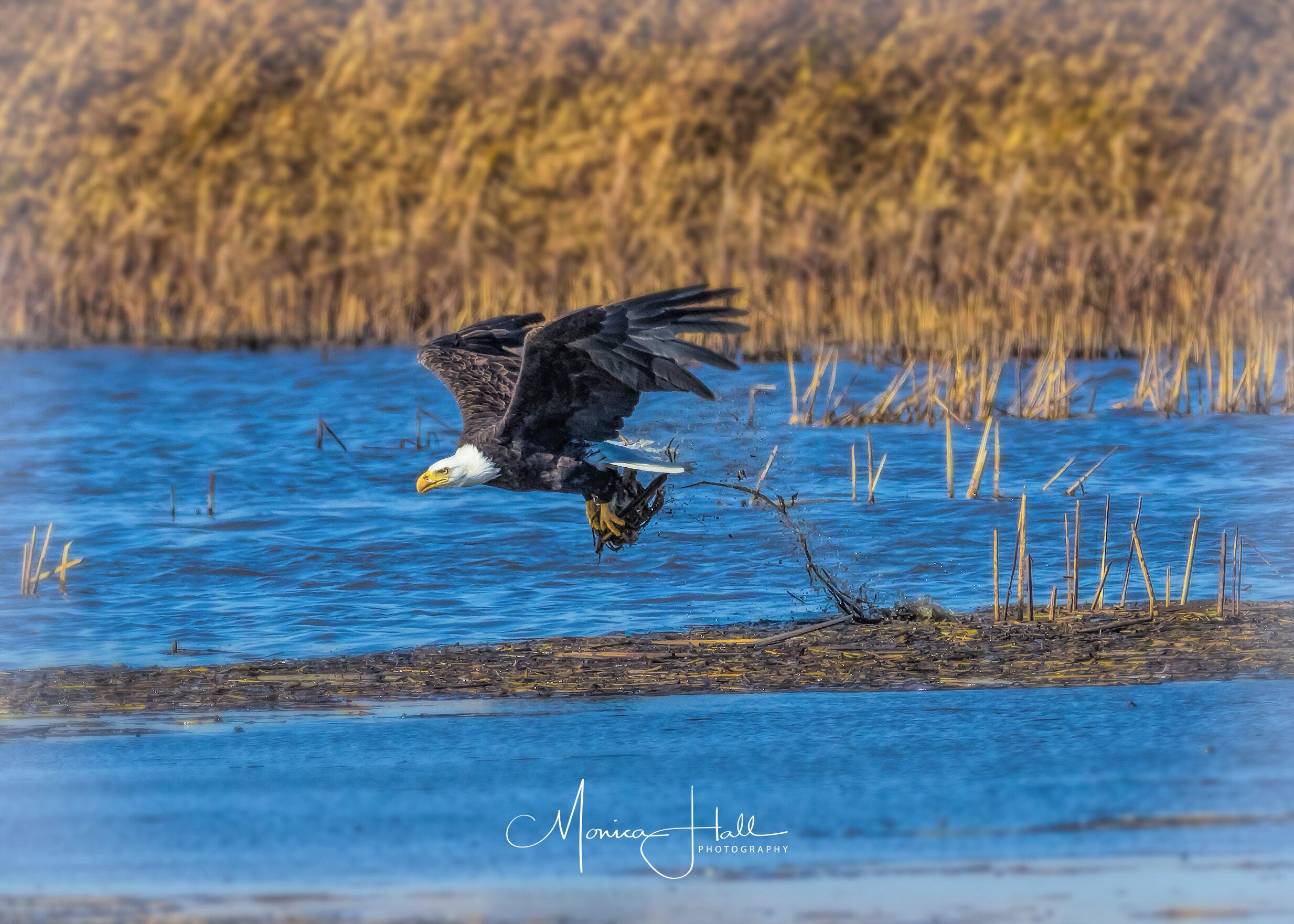 Bald eagle, photo by Monica Hall