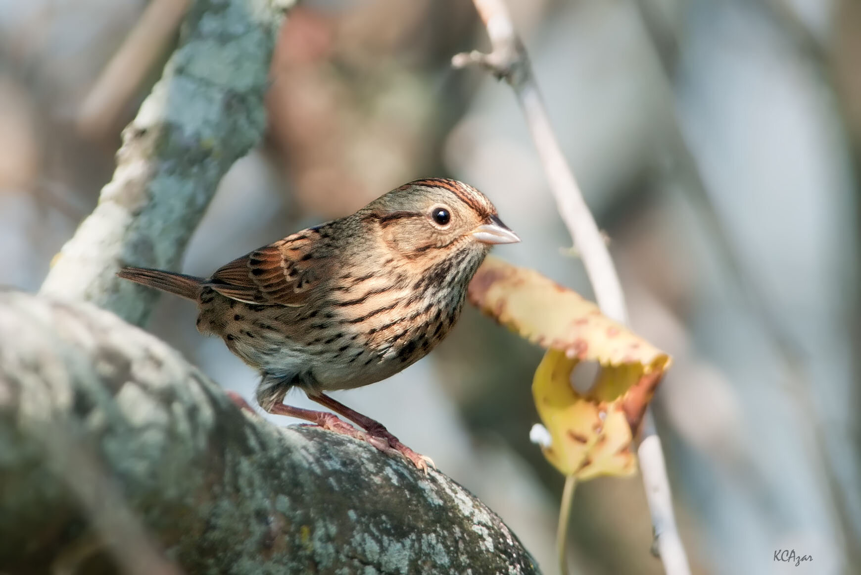 Lincoln's sparrow, photo by Kelly Colgan Azar