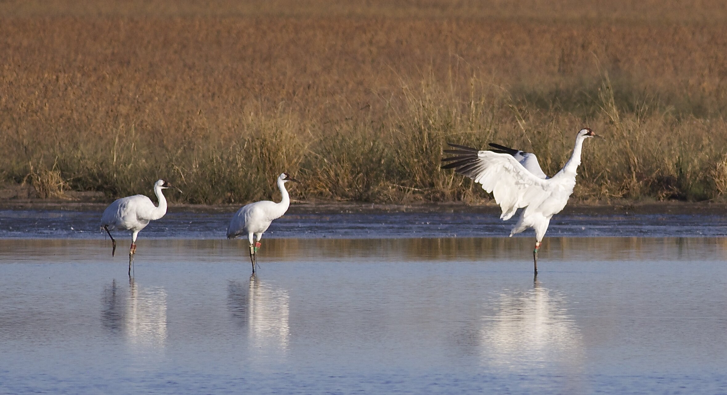 Three whooping cranes stand in the shallows. Photo by Arlene Koziol, taken in 2014
